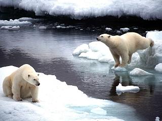 Po letu 2100 naj polarnih medvedov ne bi bilo več. Foto: EPA