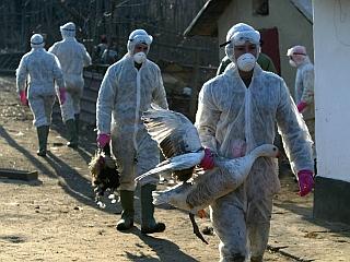 Od lanskega oktobra je ptičja gripa v Romuniji izbruhnila na več kot 70 žariščih. Foto: EPA