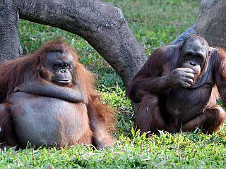 Orangutani v nevarnosti uporabijo trik z listjem. Foto: EPA