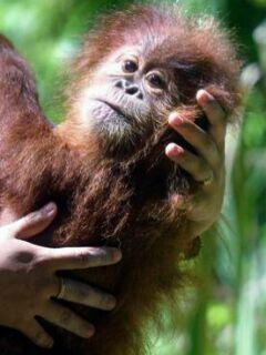 V divjini živi le še okoli 50.000 orangutanov. Foto: EPA