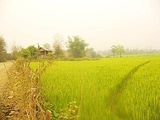 Riževo polje