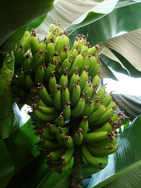 Prve banane, ki so dozorele v Sloveniji. Foto: Ocean Orchids